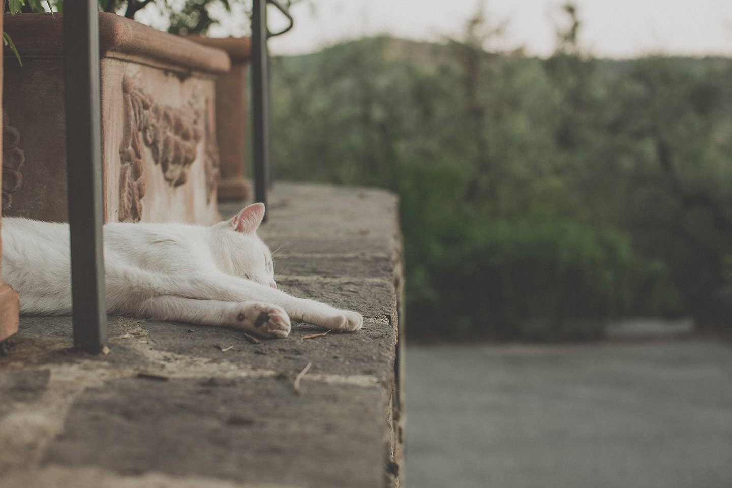 lazy-white-cat-in-vignamaggio-tuscany