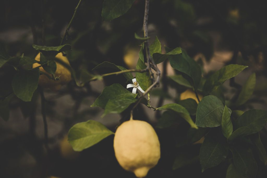 lemon-tree-blossom-Florence-private-family-villa-Tuscany